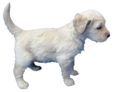 Goldendoodle Puppies, Goldendoodle, puppy, puppies, puppies for sale, Michigan, Wisconsin, Upper Michigan, Northern Wisconsin, dog, breeder, kennels